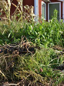 Vissnande växter i en köksträdgård.