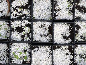 Fyrkantiga såkrukor fyllda med jord och perlit, några har börjat gro.