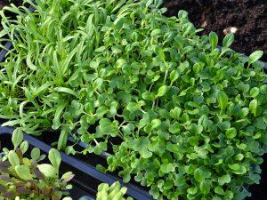 Ett tråg med olika sorters små gröna blad.