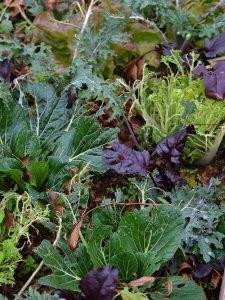 Pak choi, rödbetsblad och grönkål i en samplantering.