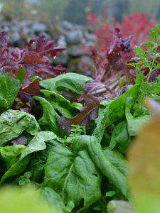 Gröna och röda sallatsblad