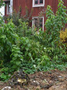 Jordärtskockan växer i köksträdgården framför ett rött hus.