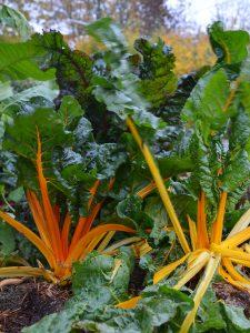 Två mangoldplantor med gröna blad och lysande orange stjälkar.