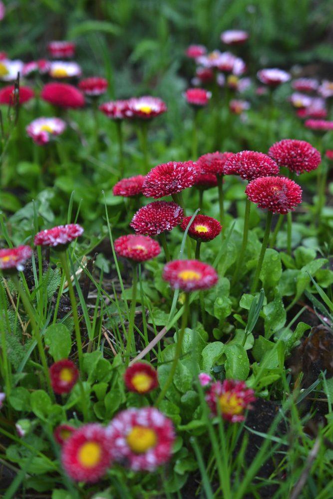 Små rosa blommor i närbild.
