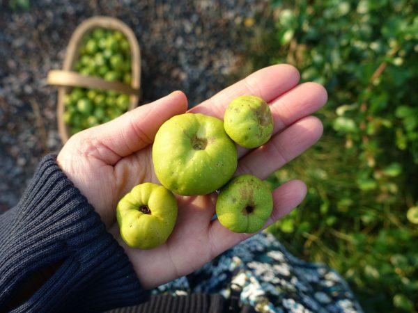 Fyra gröngula frukter ligger i en hand.