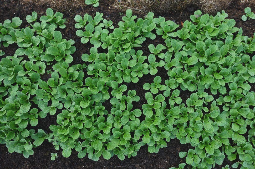 Massor av gröna små plantor fotograferade ovanifrån.