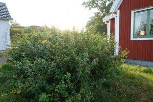 Låg grön buske med spretigt växtsätt framför ett rött hus.