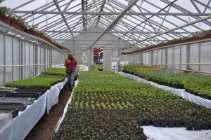 Interiör från växthus med tusentals gröna plantor på ett bord.