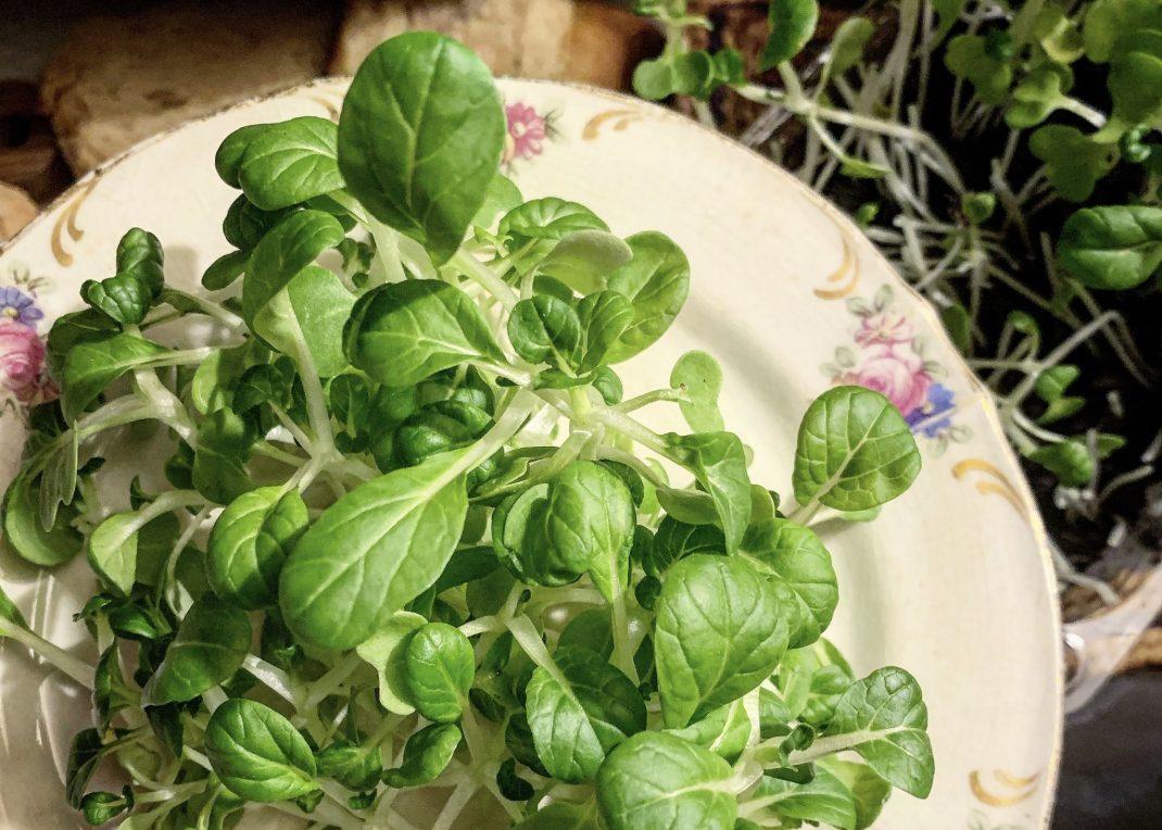 En tallrik med små gröna blad på. Odla pak choi.