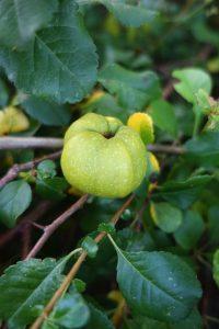 Grönt bladverk och en gulgrön frukt mitt i.
