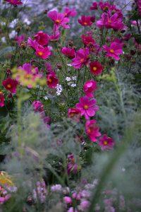 Vackra illrosa blommor bakom sjok av oskarpa blad.