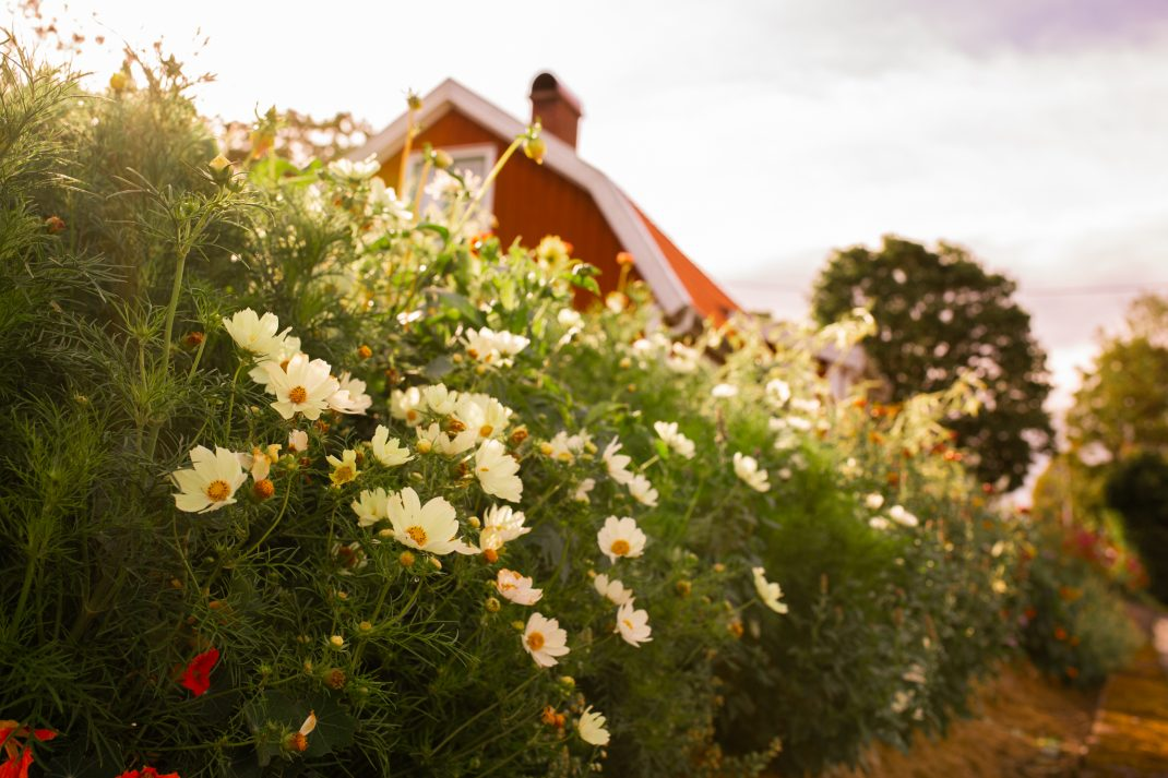 Rosenskära som häck