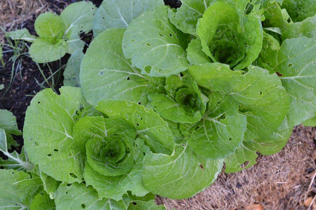 Mindre plantor av salladskål med gröna blad.