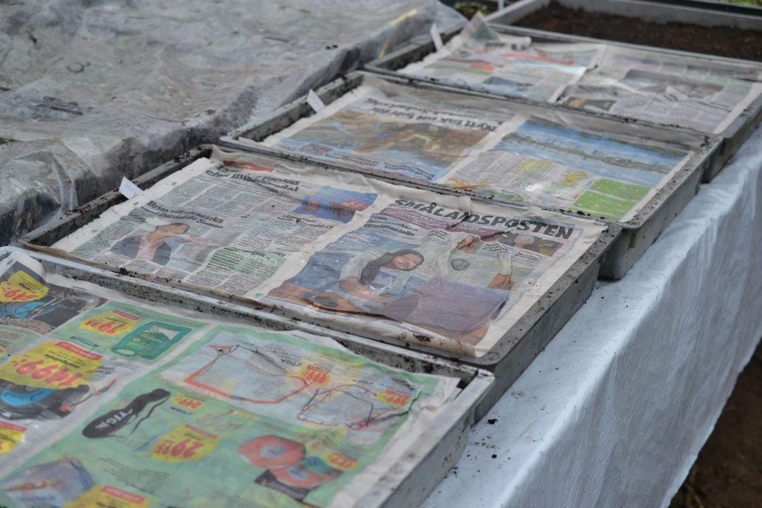 Tråg på rad på ett bord i växthuset, alla tråg täcks av blöta tidningar.
