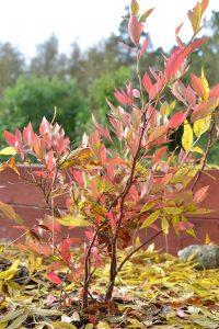 En blåbärsbuske med höströda blad.