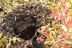 Ett planteringshål med jord och torv, bredvid en blåbärsbuske som ska planteras.