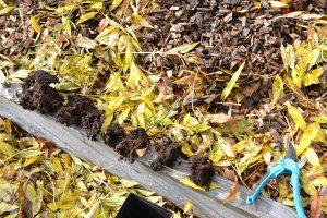 Blåbärssticklingar på rad, i väntan på att planteras. Till höger ligger en blå sekatör.