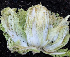 Ett krispigt huvud av kinesiskt salladskål ligger på jorden, nyskördat.