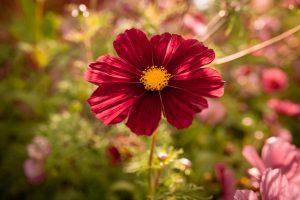 Rosenskära i trädgården