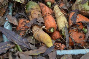 Närbild på morötter i olika färger.