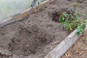 Två hål i en bädd med jord i ett växthus.