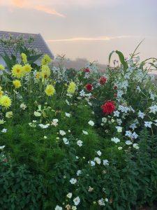 Blandade blommor växer i en rabatt och fotograferas i morgonljuset.