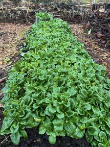 En matta av grön vintersallat i en köksträdgård