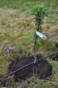 Nyplanterat träd med en bevattningsslang bredvid.