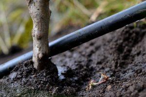 Närbild på bevattningsslang vid ett nyplanterat träd.