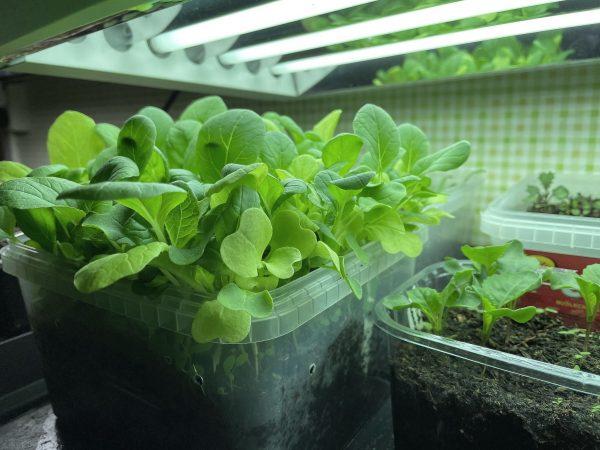 En låda med gröna blad under växtbelysning.