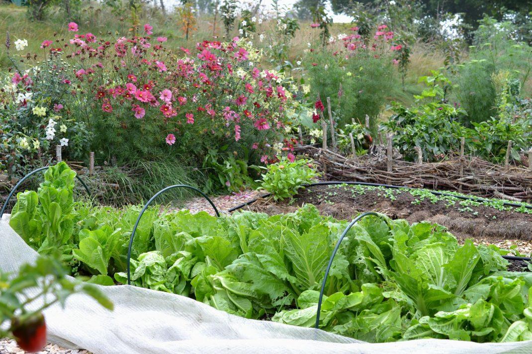 En prunkande köksträdgård med kål i förgrunden och sommarblommor i bakgrunden.