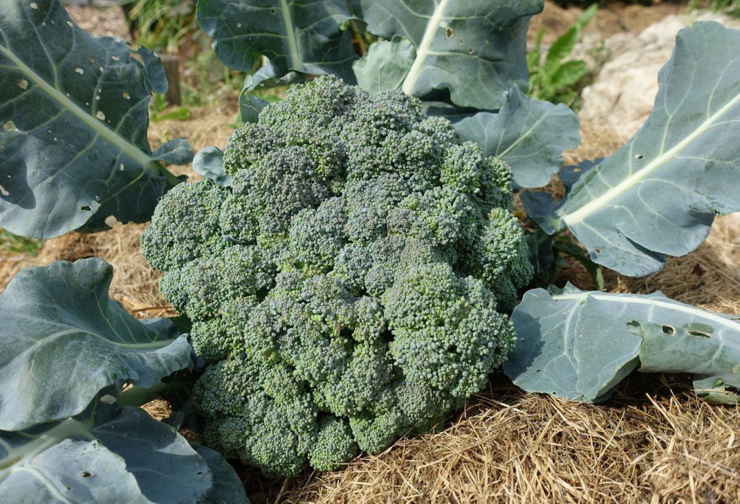 Ett toppskott av broccoli ligger på torkat gräs.