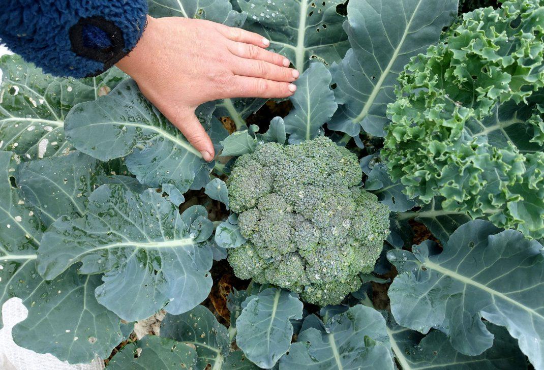 En hand vid ett stort grönt broccoli-toppskott.