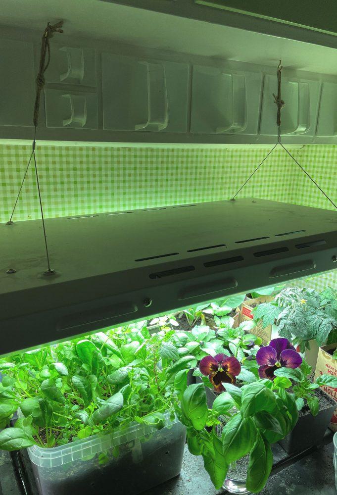 Större växtbelysning hänger i krokar över en bänk i ett kök.