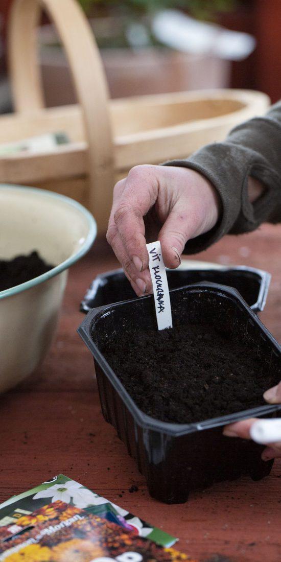En etikett sätts i ett tråg med jord.