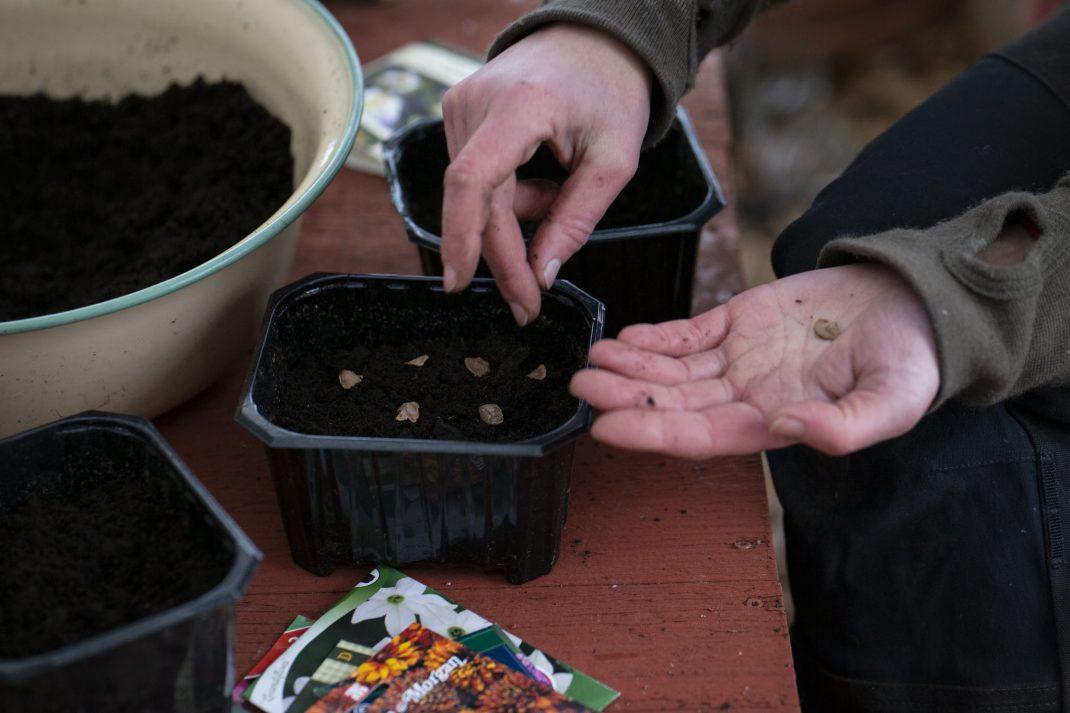 Sara förbereder krukor med jord och frö.