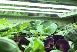 Gröna växter under starka lysrörslampor.