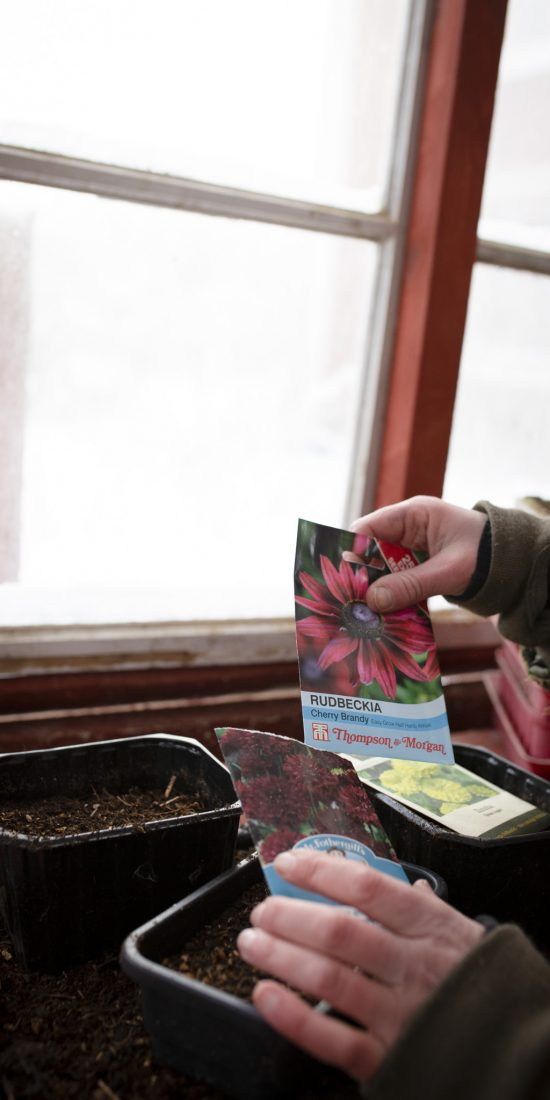 Vintersådd av snittblommor