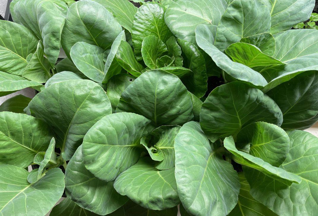 Närbild på kålplantor i krukor.