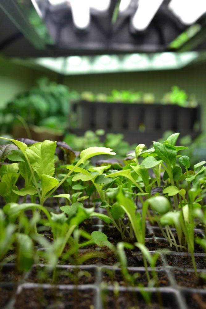 Små gröna plantor under växtbelysning med lysrör.
