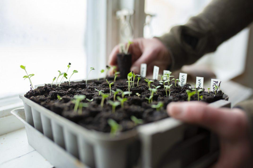 Växter i pluggbox