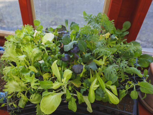 Pluggbrätte av bladgrönsaker