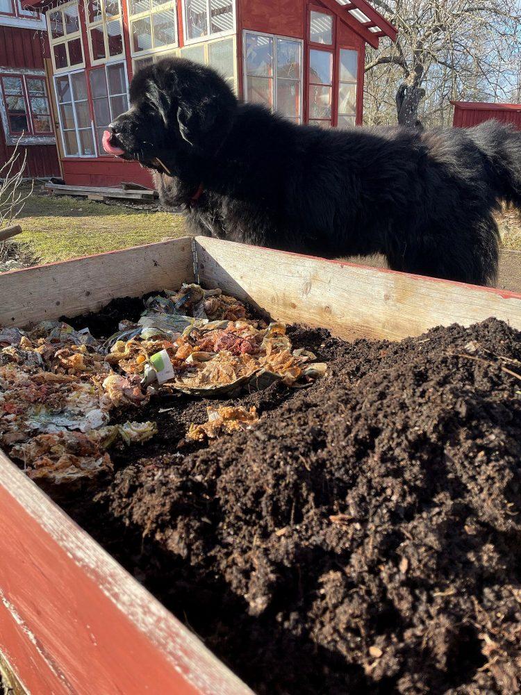 Stor svart hund slickar sig om munnen bredvid en pallkrage med kompost.