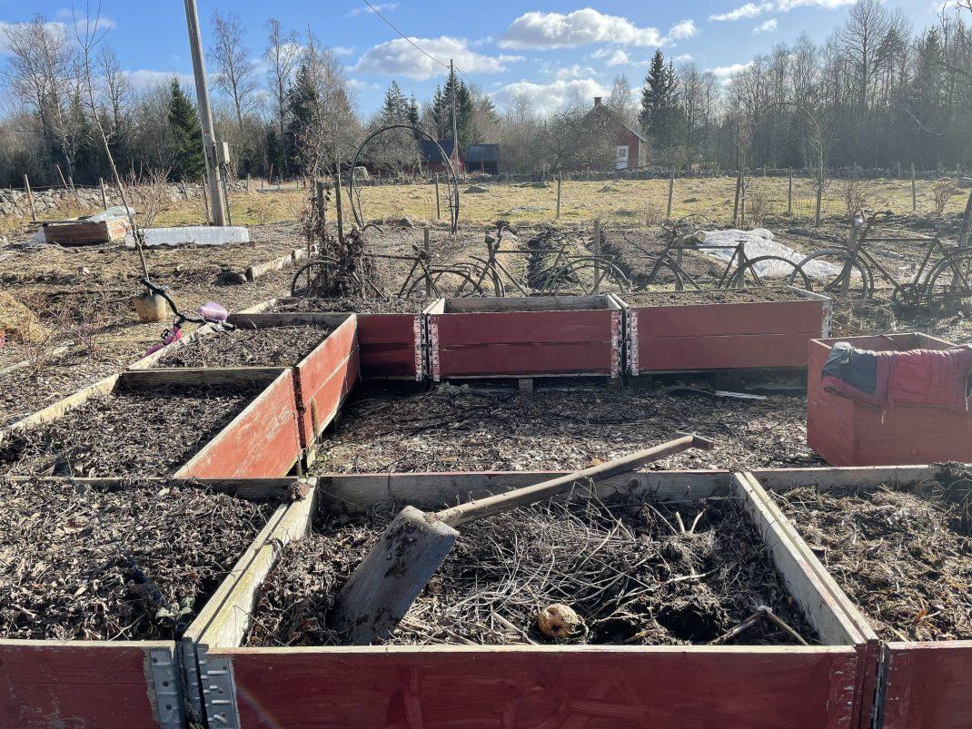 Röda pallragar i tom köksträdgård i vårsol.