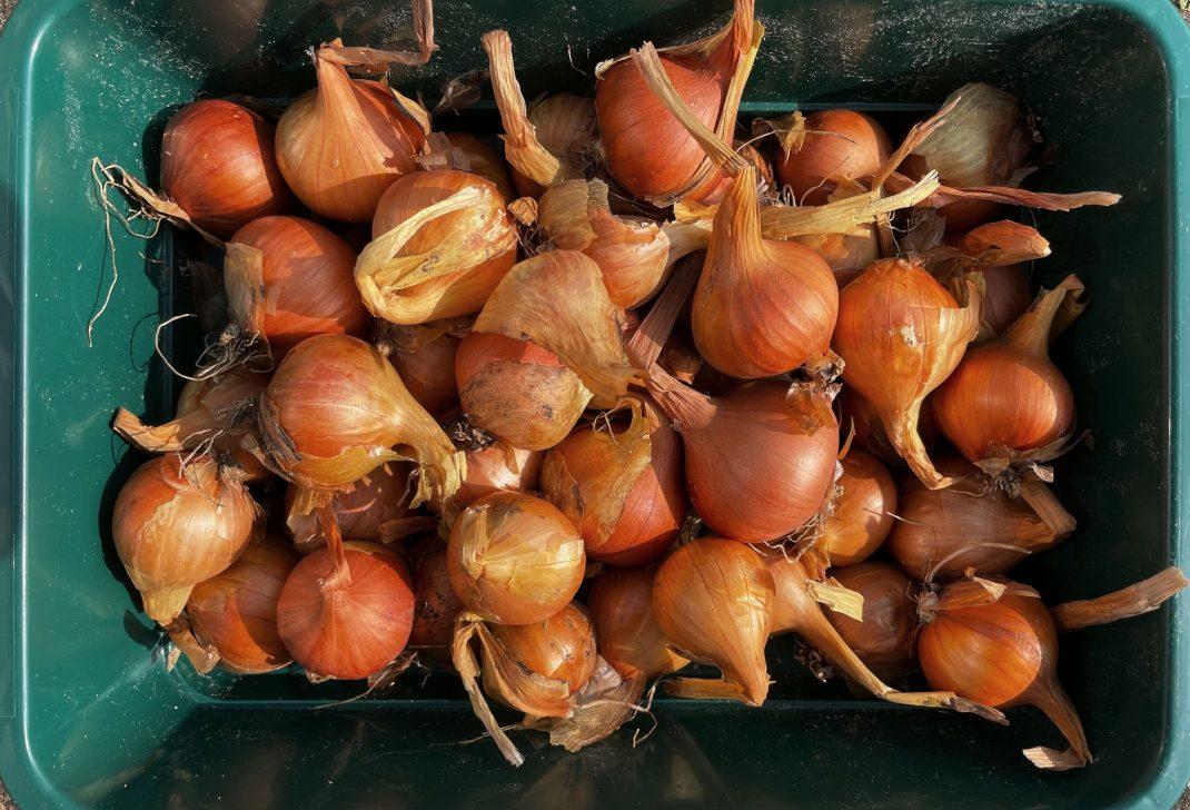 Potato onions.