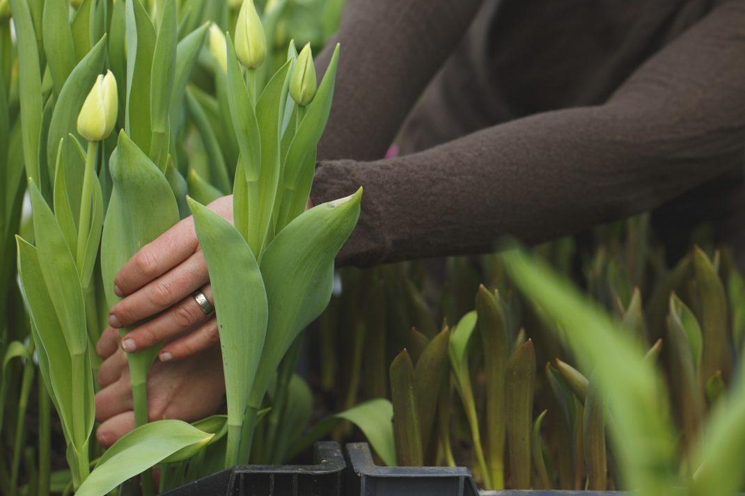 Tulpaner med långa stjälkar
