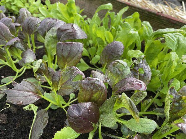 Småplantor av pak choi och spenat på tillväxt.