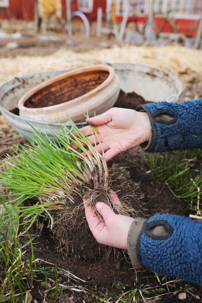 Sara delar gräslök i trädgården