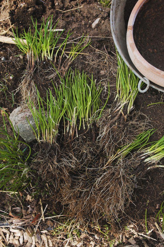 Delad gräslök för att planteras i kruka