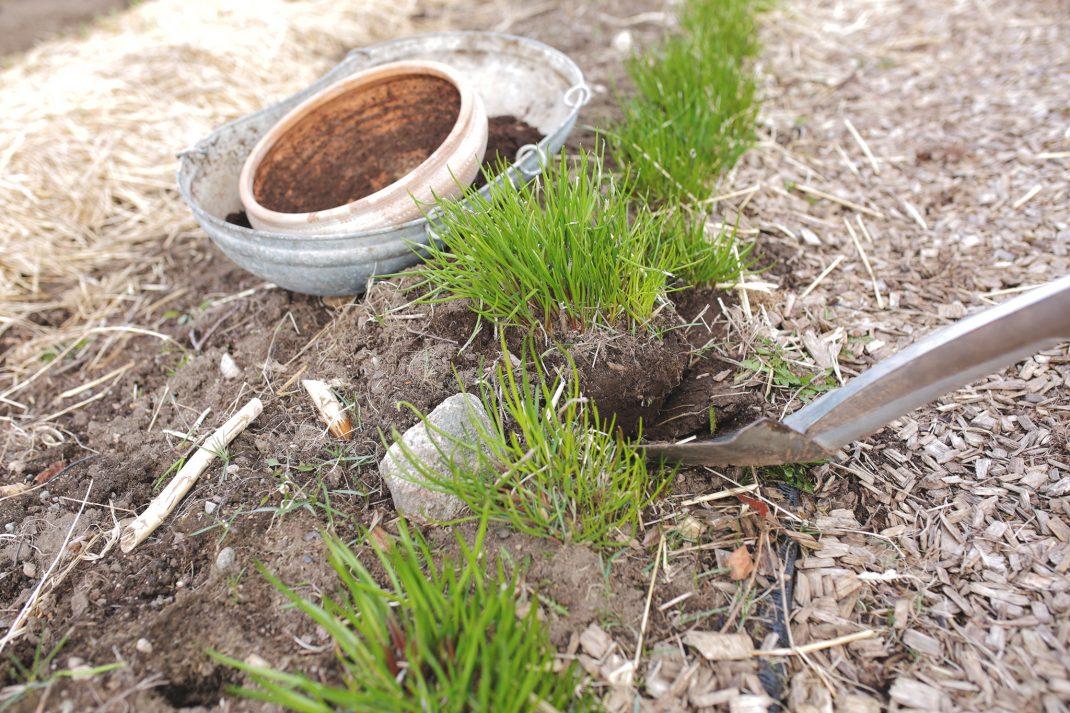 Sara gräver upp gräslök i trädgården
